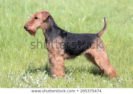 Terrier été prairie drôle parc animaux de compagnie Photo stock © CaptureLight