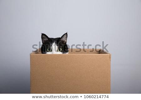 Cat in the box Stock photo © phakimata