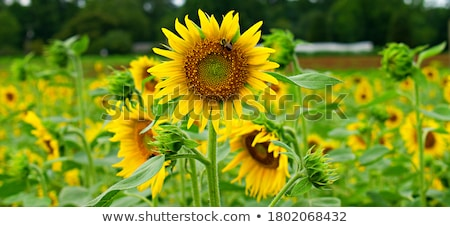 yellow sunflower is pollinated by bees stock photo © mikhail_ulyannik