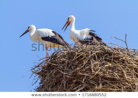 stork 4 stock photo © fotorobs