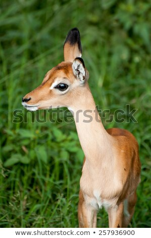 Stock photo: Young Impala in Green Grass with Ears Pointed