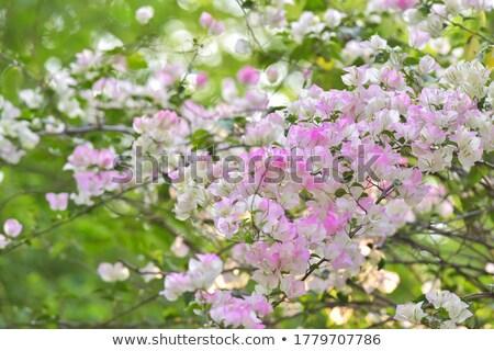 Floral border bougainvillea Stock photo © Irisangel