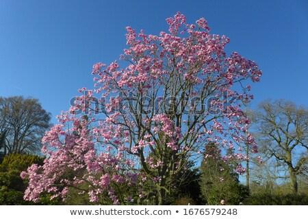 rózsaszín · virágzó · fa · természet · tavasz · Franciaország - stock fotó © master1305