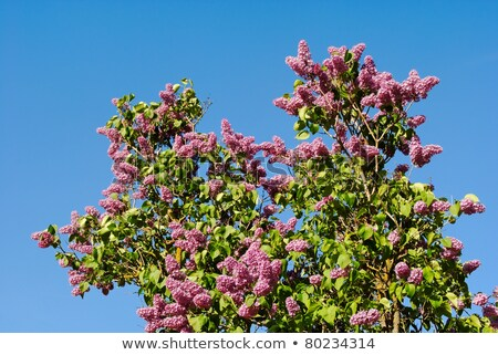 belo · roxo · lavanda · arbusto · coberto · denso - foto stock © chris2766