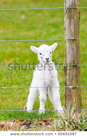 Newborn Lamb With Birth Marks and Umbilical Watching from Behind Stock photo © rekemp