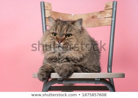 Chinchilla gris couleur séance président cheveux Photo stock © FrameAngel