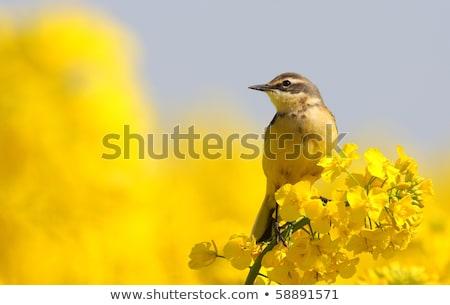 Yellow wagtail, female Stock photo © michaklootwijk