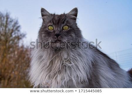Turco gato retrato branco olhos ouvido Foto stock © magraphics