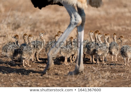 Devekuşu civciv küçük çiftlik çim kuş Stok fotoğraf © FOTOYOU