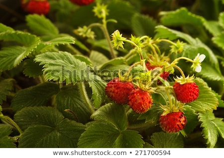 Wild strawberry plant with green leafs and red fruit   Stock photo © master1305