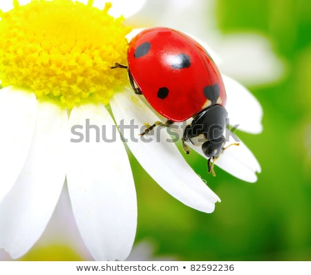 てんとう虫 · 座って · 花 · 庭園 · 夏 · だけ - ストックフォト © mady70