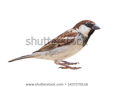 isolated male house sparrow Stock photo © taviphoto