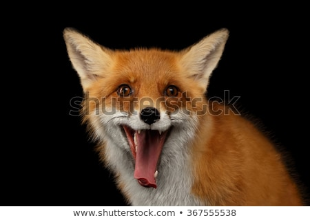 Fox · studio · rouge · blanche · courir · marche - photo stock © cynoclub