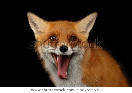 Fox · studio · rouge · blanche · courir · marche - photo stock © cynoclub