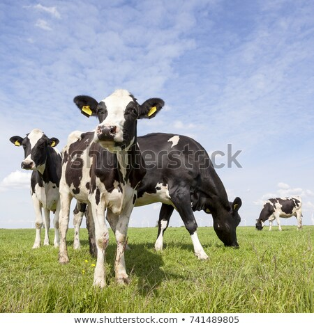 cows on green grass with dutch windmill Stock photo © compuinfoto
