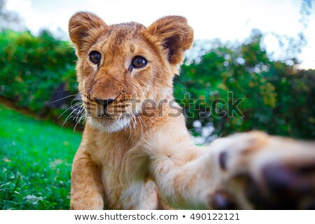 Lion cub giving a paw in green sunny savanna Stock photo © Burchenko