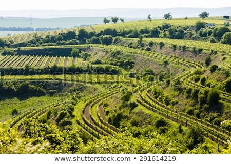 vineyard Jecmeniste, Czech Republic Stock photo © phbcz