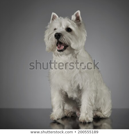 West Highland White Terrier sitting in a shiny gray background Stock photo © vauvau
