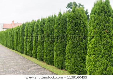 Abstract macro background of a thuja hedge Stock photo © manfredxy