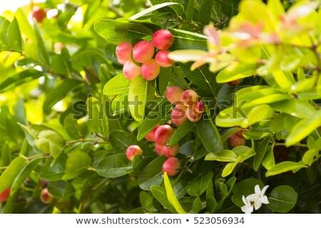 Fa tövis gyümölcs egészség étel nyár Stock fotó © Bigbubblebee99