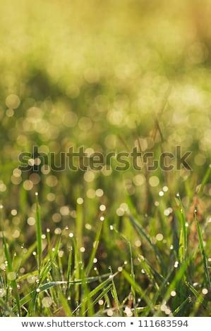 Fű reggel harmat bokeh villanykörte természet Stock fotó © TasiPas