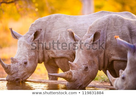 drinking white rhino in the kruger national park south africa stock photo © simoneeman