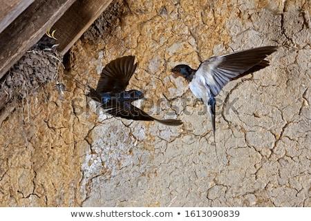 Barn Swallow - Hirundo rustica, Adult Male. Stock photo © yhelfman