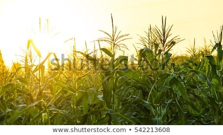 Megművelt kukorica mező fiatal termény növények Stock fotó © stevanovicigor