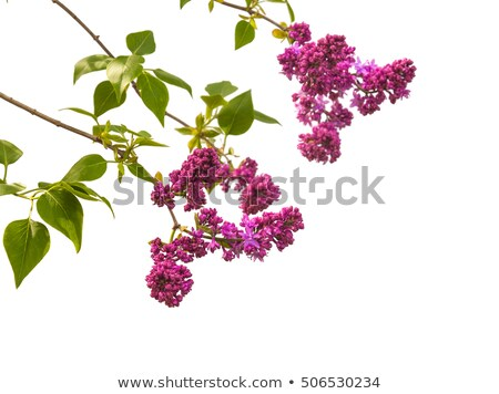 Branch of a Blossoming Lilac Stock photo © kostins