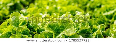 зеленый свежие области Салат мрамор разделочная доска Сток-фото © Melnyk