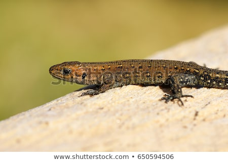 viviparous lizard basking on wood stump Stock photo © taviphoto