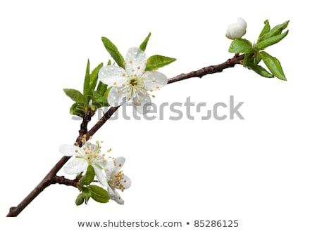 цветы листьев изолированный белый лист Сток-фото © brulove