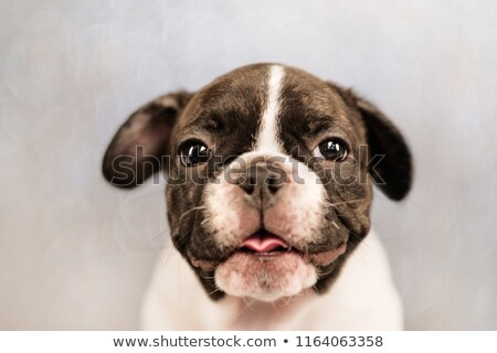 close up of seated adorable french bulldog Stock photo © feedough