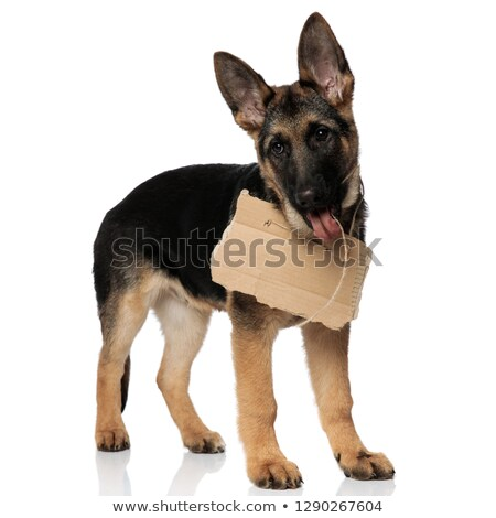 curious german shepard with empty sign looks to side Stock photo © feedough