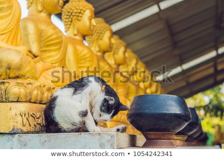 the cat sits on the background of buddha statues face of gold buddha thailand asia stock photo © galitskaya