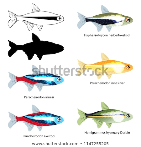 Neon Tetra Aquarium Fish Isolated on White Graphic Stock photo © robuart