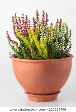 Isolated potted winter-flowering heather plant Stock photo © manfredxy