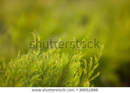 Rows of tea tree  Stock photo © Ansonstock