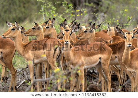 Impala herd Stock photo © poco_bw