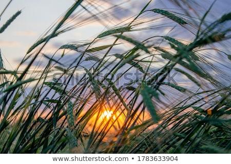 Tall palm over blue sky Stock photo © johnnychaos