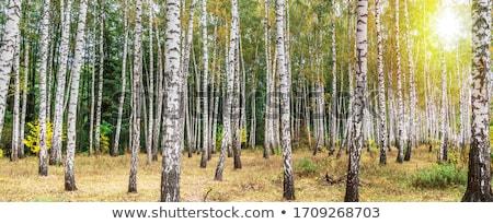 autumn birch forest october stock photo © elmiko