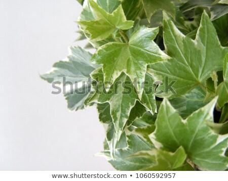 ivy leaves closeup Stock photo © prill