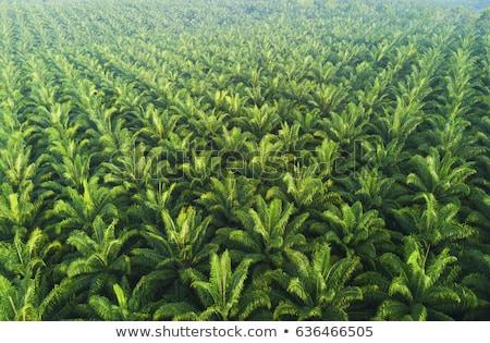 palm oil plantation Stock photo © yuliang11