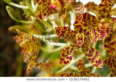 тигр орхидеи теплица цветок природы Сток-фото © tannjuska