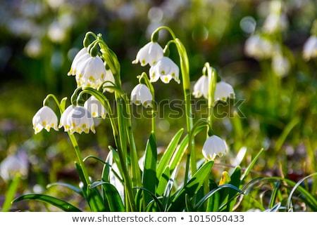 Spring snowflake flowers (Leucojum vernum) Stock photo © haraldmuc