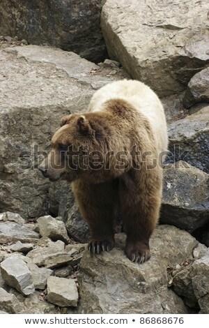 portret · jeden · niedźwiedź · brunatny · lata · dzień · drewna - zdjęcia stock © prill