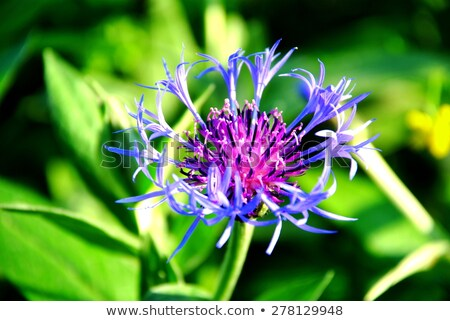 Perennial Cornflower Stock photo © Stocksnapper