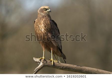 Marsh Harrier Stock photo © ivonnewierink