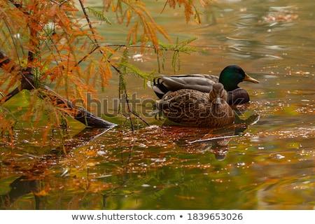 férfi · tó · felület · kacsa · úszik · háttér - stock fotó © taviphoto