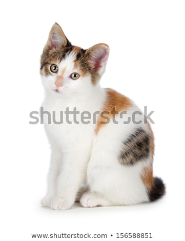Cute calico kitten on a white background. stock photo © gabes1976
